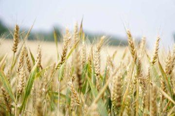 Objavljen treći Natječaj za potporu za očuvanje, održivo korištenje i razvoj genetskih izvora u poljoprivredi 1