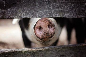 Objavljen natječaj za postavljanje dvostrukih ograda u uzgojima svinja za 2020. godinu 1