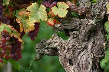 Dodjela kvote za kriznu mjeru skladištenja vina 3