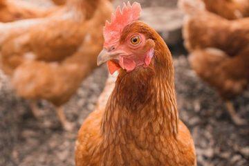 """Objavljen 10. natječaj za provedbu T.O. 4.1.1 """"Restrukturiranje, modernizacija i povećanje konkurentnosti poljoprivrednih gospodarstava"""" – ulaganja u alternativne načine držanja kokoši nesilica 3"""