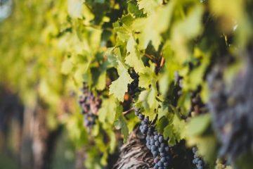 """Natječaj za provedbu TO 4.1.1. """"Restrukturiranje, modernizacija i povećanje konkurentnosti poljoprivrednih gospodarstava"""" – podizanje novih vinograda i/ili restrukturiranje vinograda stolnih kultivara 8"""