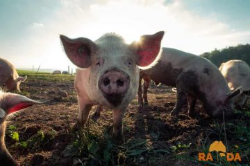Javni poziv za sufinanciranje udovoljavanja uvjetima biosigurnosnih mjera u smislu postavljanja ograda u uzgojima svinja koje se drže na otvorenom za 2021. godinu 8